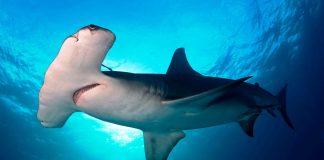 Pescadores descuartizaron un tiburón martillo