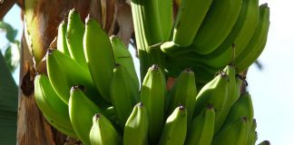 Beneficios del topocho - Beneficios del topocho