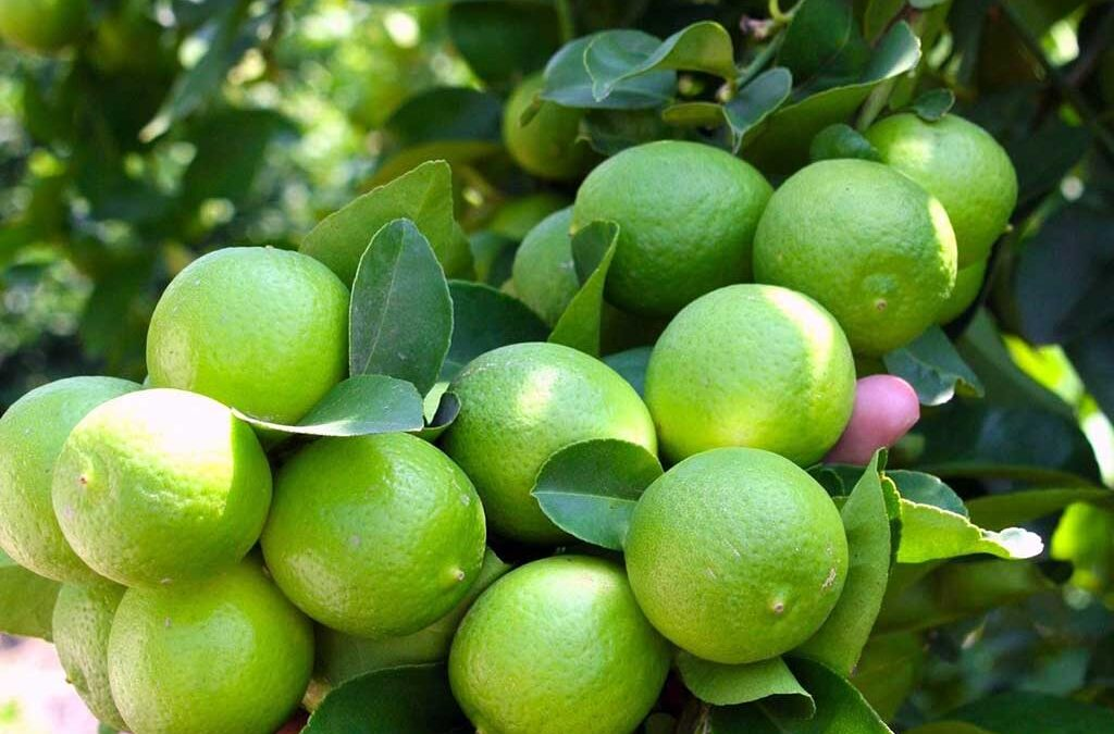 Frutas cítricas - Frutas cítricas