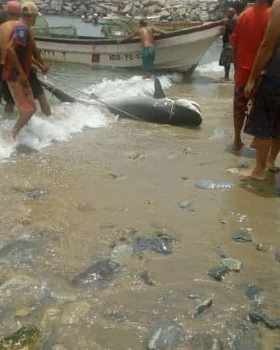 Pescadores atrapan a un tiburón en las bahías de Macuto