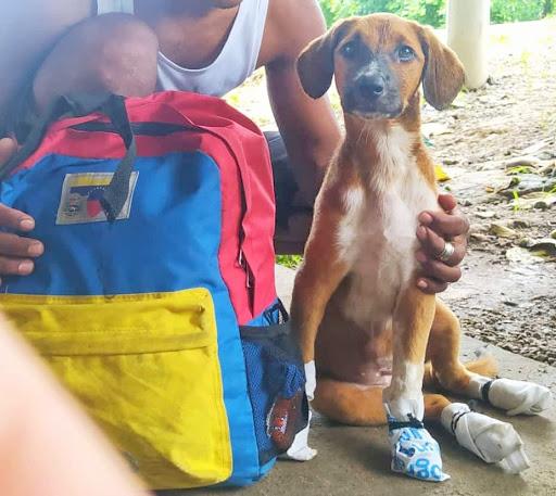 Perrita venezolana viajó 60 días a pie - Perrita venezolana viajó 60 días a pie