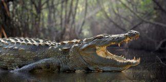 Adolescente fue atacada por un cocodrilo