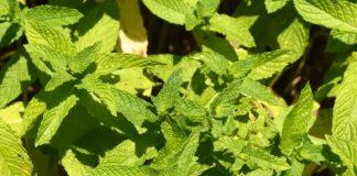 Hierbabuena - hierbabuena