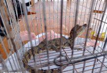 Rescatan un caimán en la Cota 905