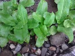 Beneficios del cilantro - Beneficios del cilantro