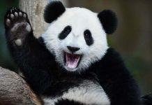 """Oso panda abandonó la lista de """"Peligro de extinción"""""""