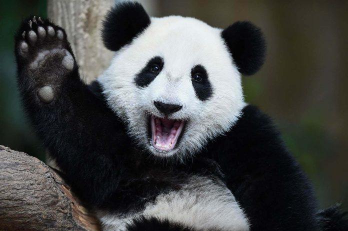 Oso panda abandonó la lista de