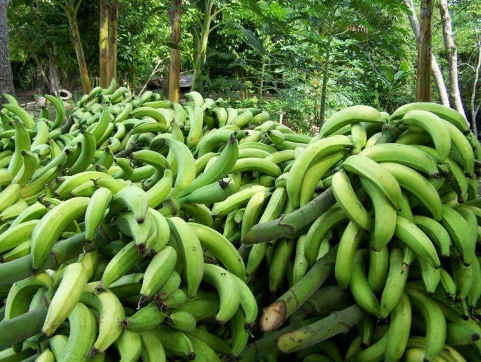 40% de la producción de plátanos afectada