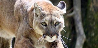 Cazan a un puma concolor en Lara - Cazan a un puma concolor en Lara