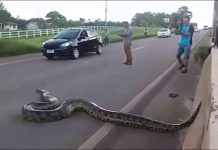 Video de anaconda en carretera - Video de anaconda en carretera