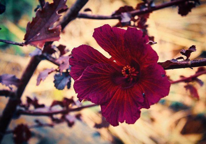 Flor de Jamaica - Flor de Jamaica