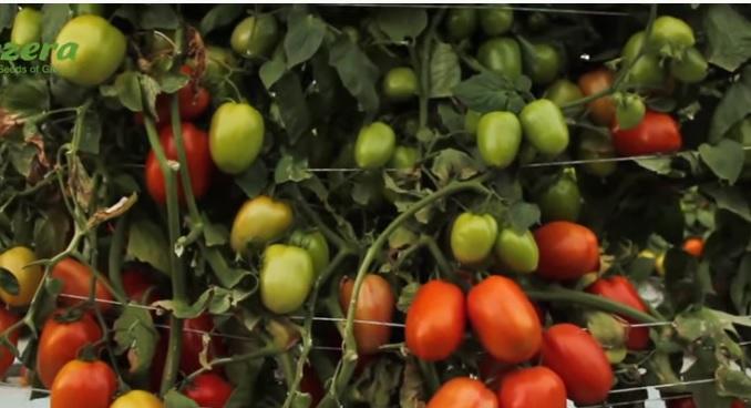 Tomate - Tomate