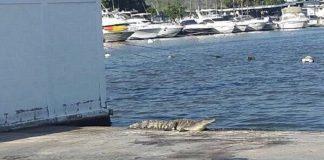 cocodrilos en costas de Higuerote y Río Chico - cocodrilos en costas de Higuerote y Río Chico