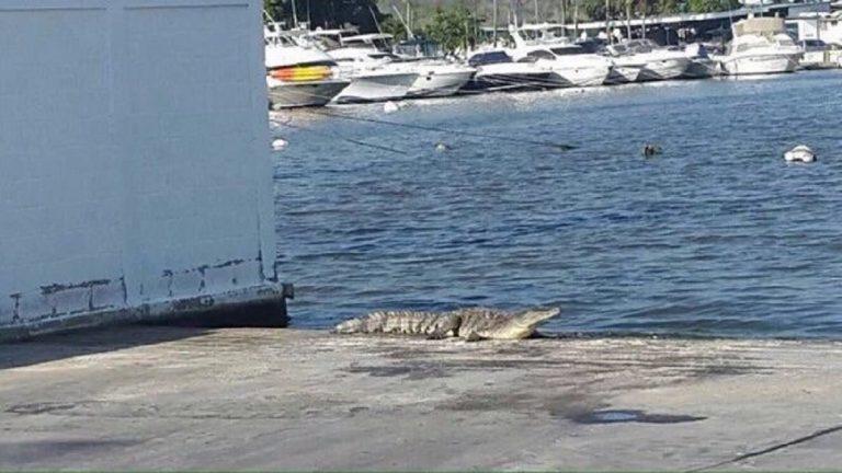 Onsa advierte presencia de cocodrilos en playas de Higuerote y Río Chico