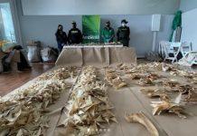 Incautan más de 3 mil aletas de tiburón