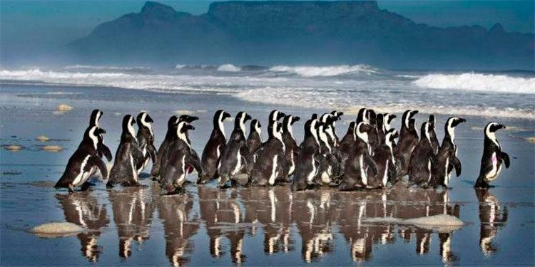 60 pingüinos africanos muertos - 60 pingüinos africanos muertos