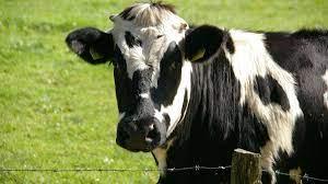 Casos de vacas locas en Brasil - Casos de vacas locas en Brasil