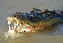 enorme aligátor se comió a un reptil - enorme aligátor se comió a un reptil